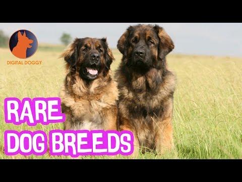 The Rarest Dog Breeds!