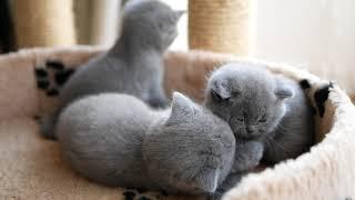 Британские котята в возрасте 1 месяц (Litter-J2)