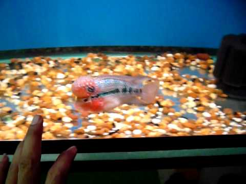 baby flower horn fish by Woody crossbreed