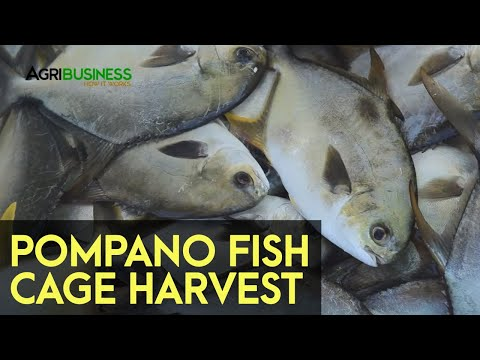 HARVESTING POMPANO: Harvesting Pompano In Fish Cages | Agribusiness How It Works