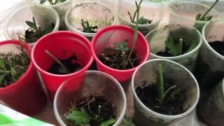 видео черенкование хризантем из букета