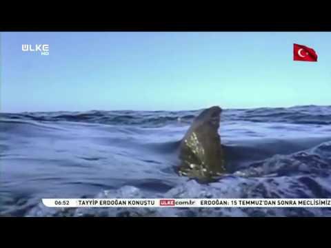 Katil Balinalar Beyaz Köpek Balığını Avlıyor