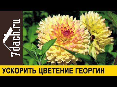 🏵️ Как ускорить цветение георгин - 7 дач