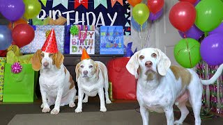 Dog Gets Biggest Birthday Surprise Party Ever! Cute Dogs Penny & Potpie Throw Party for Maymo