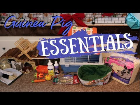 Guinea Pig Essentials/What They Need