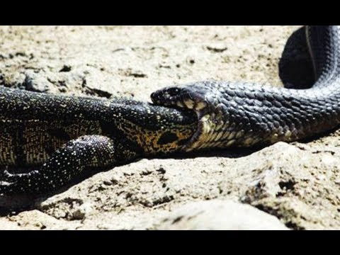 Snake Swallowing Water Monitor - 28 April 2013 - Latest Sightings