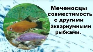 Меченосцы совместимость с другими рыбами.