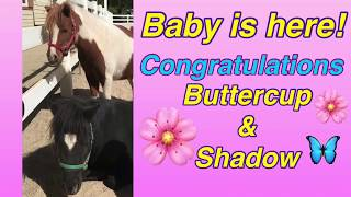 SURPRISE PREGNANT HORSE DELIVERERS BABY: Meet the new foal. Baby arrives! Newborn pony runs & plays
