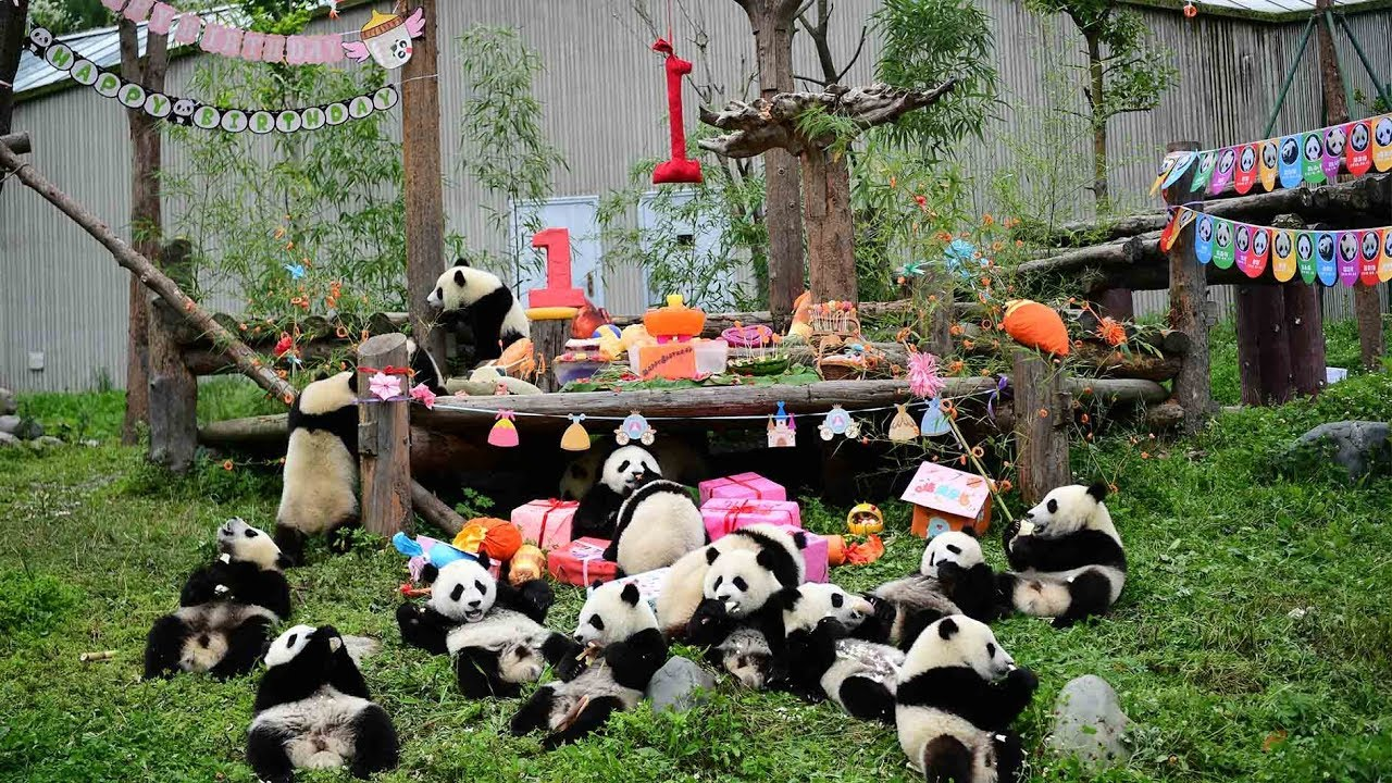 18 panda cubs celebrate first birthday in Sichuan - YouTube