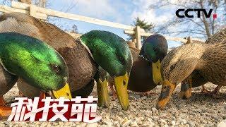 《科技苑》 20190731 吃素 爬山 走俏的鸭子多养30天  CCTV农业
