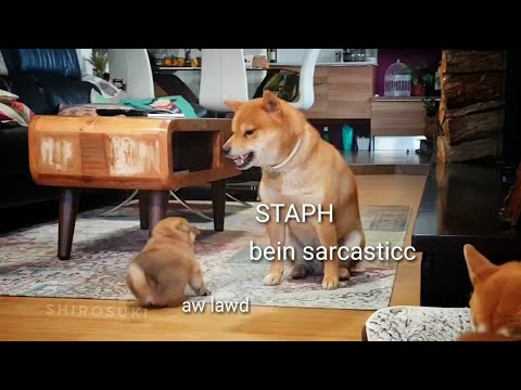 AMGERINESS vs SMOLNESS Ep01 / Shiba Inu puppies (with captions)