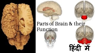 Biology – Human brain structure and function - in Hindi