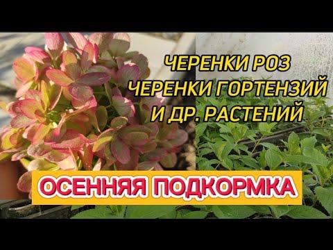 Осенняя подкормка черенков роз, гортензий и др. растений.Обзор по сортам.