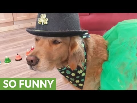 Golden Retriever plays 'Danny Boy' on bells for St. Patrick's Day