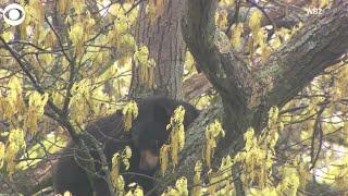 WEB EXTRA Bear In Tree In MA