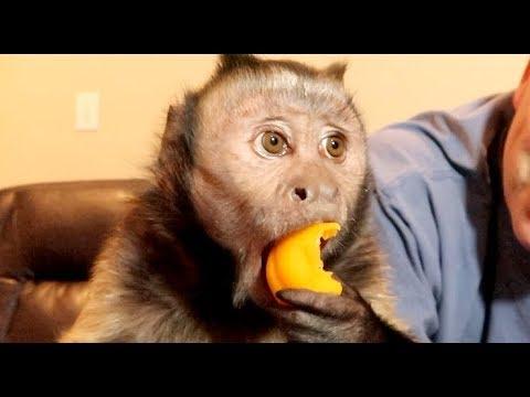 Monkey Eating an Apricot!
