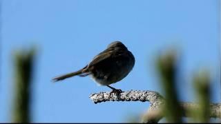 Japanese Bush Warbler, FullHD JH1RNZ