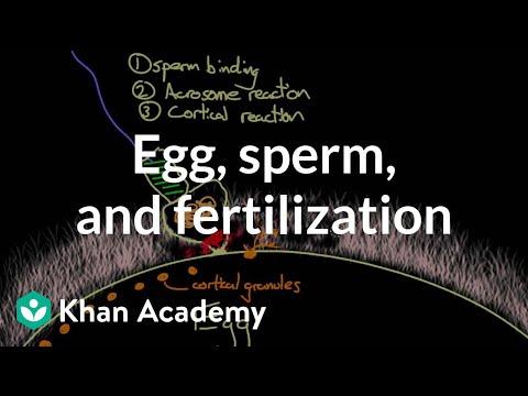 Egg, sperm, and fertilization | Behavior | MCAT | Khan Academy