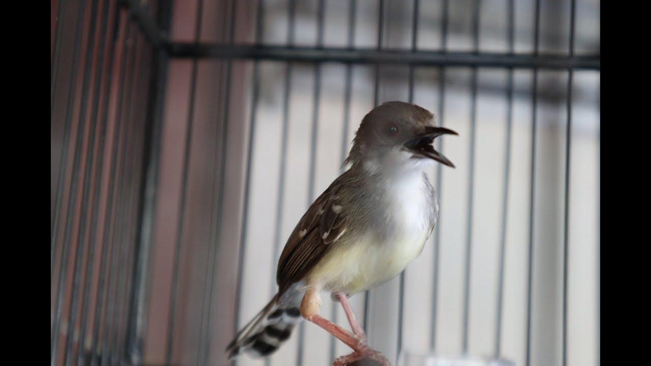Suara Burung Ciblek Semi Gacor Full Nembak Youtube