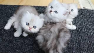 Shaded Silver Persian Kittens - Week 5 - 2nd Litter 2020/05/27