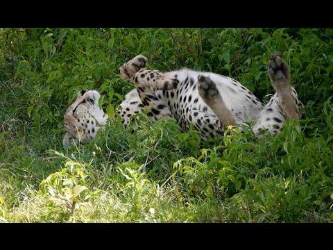 Satte Katze! - Fauler Gepard nach Gnumahl in Serengeti