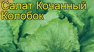 Салат кочанный Колобок. Краткий обзор, описание характеристик, где купить семена Kolobok