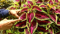 Coleus Cuttings Made Easy