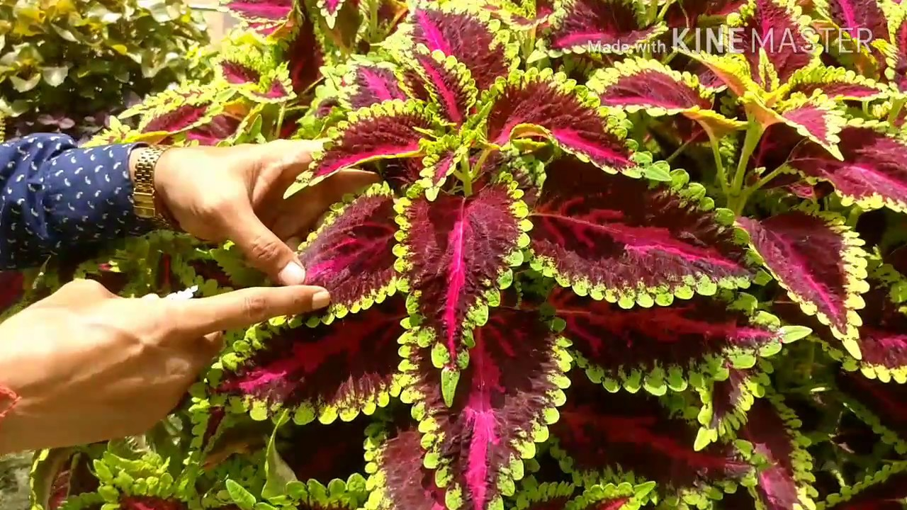 Coleus Cuttings Made Easy Youtube