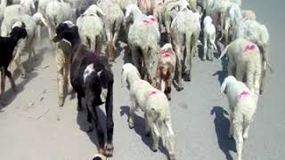 Sheep travel in city