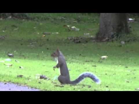 Eastern Grey Squirrel / Grijze Eekhoorn Sciurus carolinensis