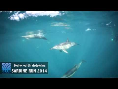 Swimming with common dolphins on South Africa's annual Sardine Run