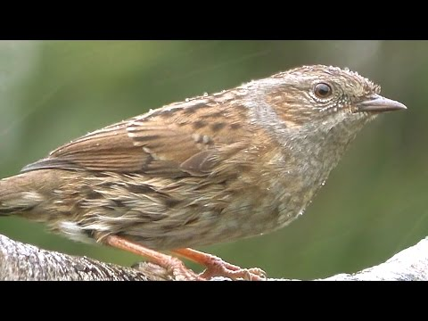 Dunnock - Birds On and Off The Branch