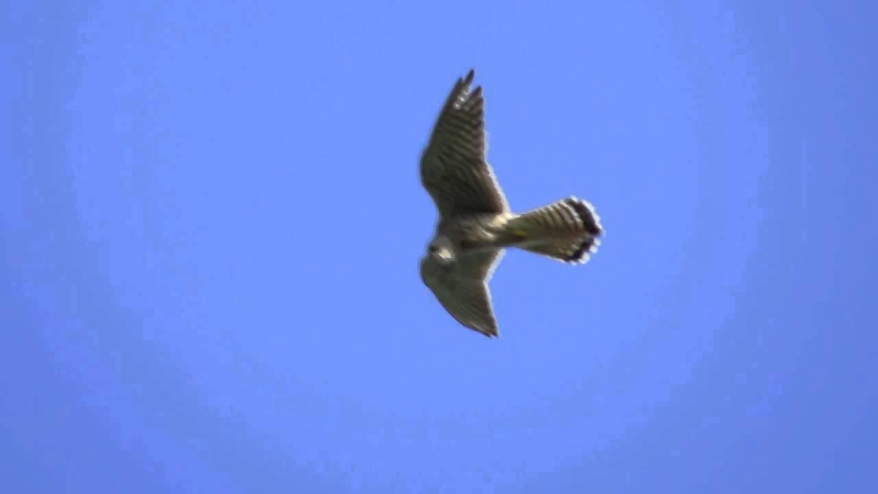 82f57066825 Kestrel 'Wind Hovering' - YouTube