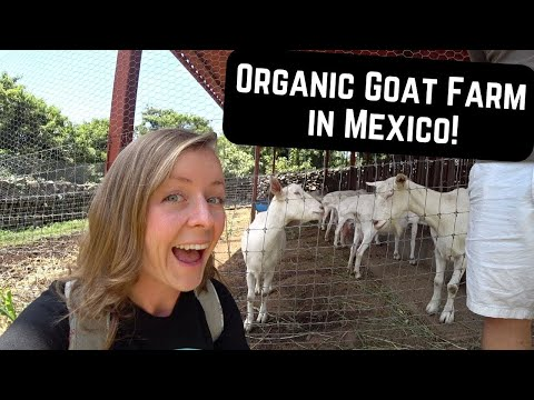 #177. You Aren't GOATing to Believe It! (Lake Chapala Mexico Goat Farm)