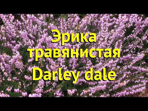 Эрика травянистая Дарли дэил. Краткий обзор, описание характеристик erica carnea Darley dale