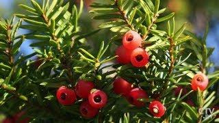 Ядовитые растения Беларуси