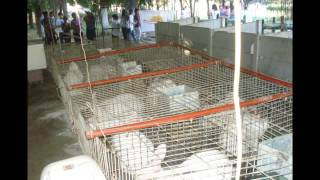 Cría de conejos para producción de carne thumbnail