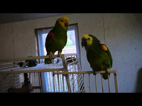 More Screaming Amazon Parrots