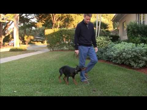 Doberman Pinscher puppy learning Real World obedience training