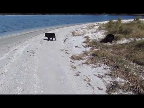 Schipperke Dogs Playing at Beach and Swimming