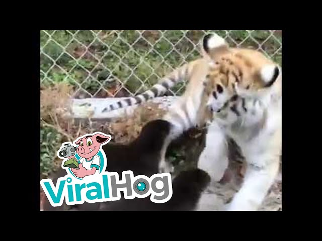 Two Otters and a Baby Tiger