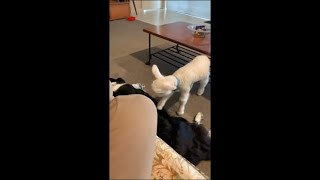 Playful Lamb Won't Let Dog Sleep and Eventually Gives Up