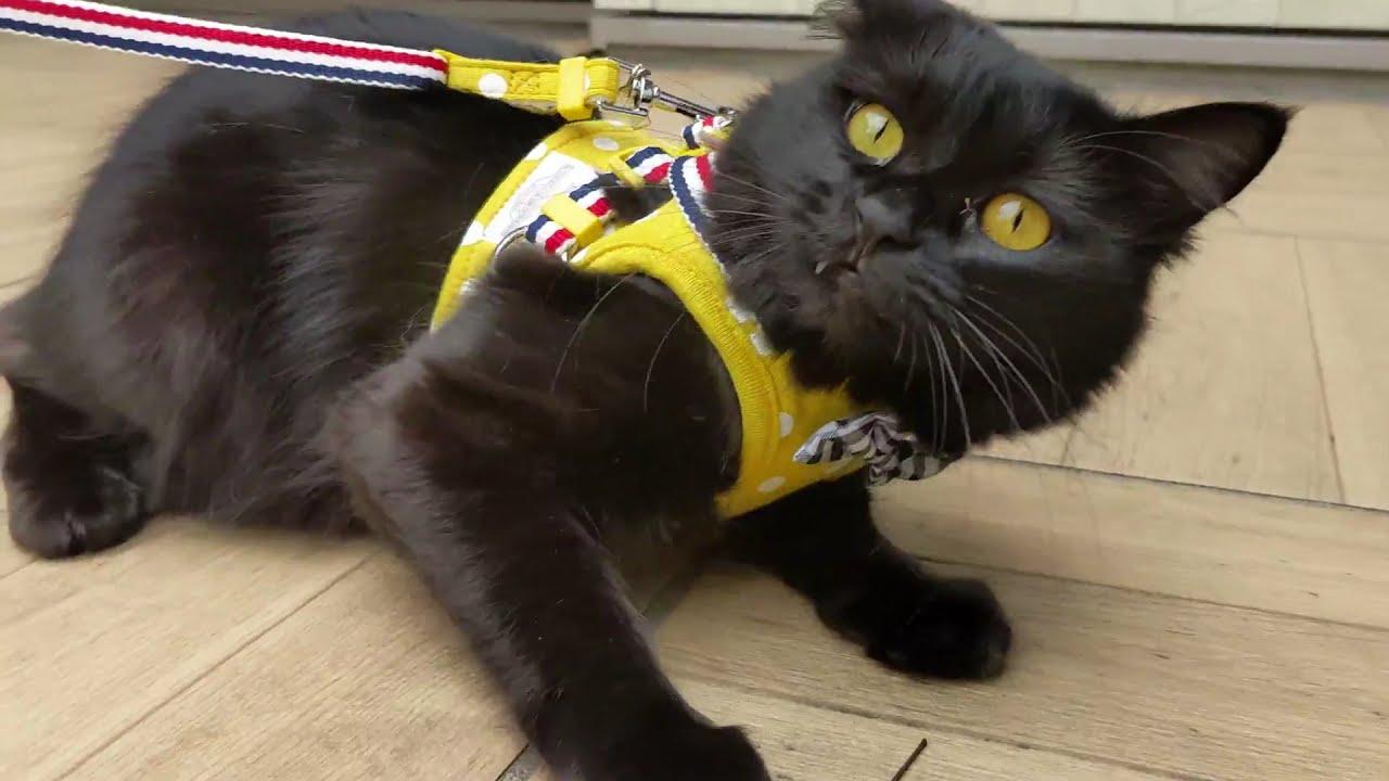 ハーネスが嫌で歩けなかった黒猫が練習したらこうなりました 292話