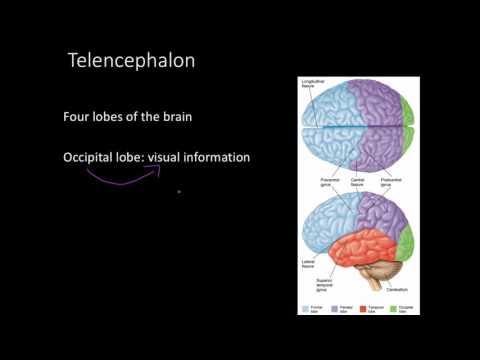 Telencephalon, Limbic system, and basal ganglia