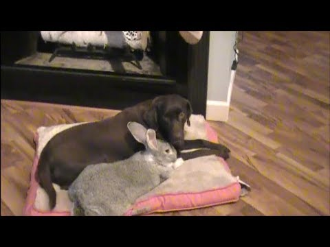 giant-rabbit-playing-with-dog
