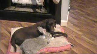 Giant Rabbit Playing With Dog