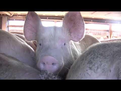 Hull Pig Save - Feb 23rd 2018 - Cranswick Country Foods - Hull