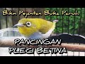 Burung Pleci Betina Birahi Memanggil Jantan Terapi Pleci Jantan Cepat Ngalas Ngeroll  Mp3 - Mp4 Download