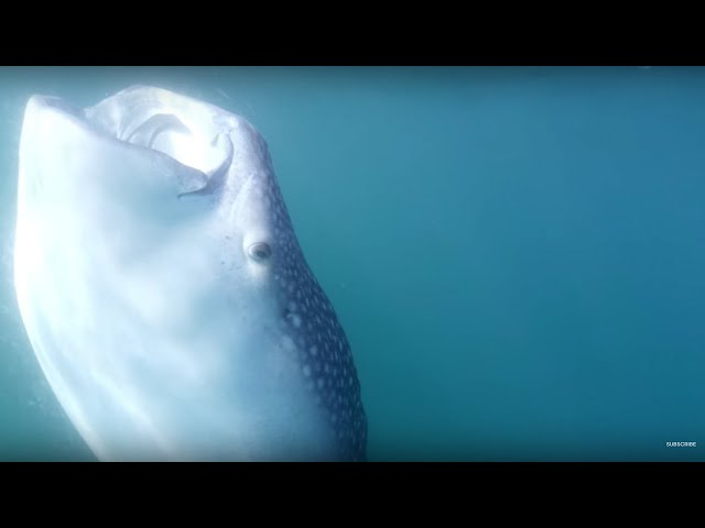 Tagging the Largest Shark On Earth | Our Blue Planet | BBC Earth