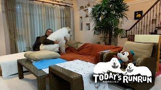 新技の座り込みで息子格下をソファーから退けるアラン Great Pyrenees グレートピレニーズ
